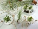 먼지 먹는 공중 식물 '틸란드시아' 키우기