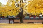 경복궁 은행나무 | 서울 단풍구경