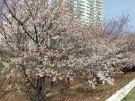 안양천 벚꽃 개화 현황