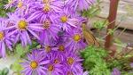 [야생화] 10월에 피는 야생화 쑥부쟁이 꽃과 벌과 나비, 쑥부쟁이 꽃말은 인내