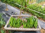 풋고추 재배[여름이 제철인 오이고추(아삭이고추), 청양고추,꽈리고추 수확과 효능]