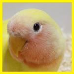 러브버드, 적극적으로 사랑하는 귀여운 앵무새(모란앵무새, 울음소리, 수명, 특징)