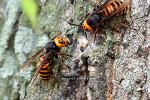 장수말벌의 위엄, 장수말벌제거 퇴치법, 말벌의 한살이