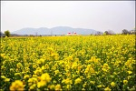 ( 대구 유채꽃 명소 ) 하중도 유채꽃 -2019 4월6일 ~5월 6일 개방