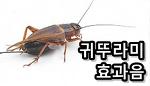 귀뚜라미 울음 소리 효과음 mp3 다운로드