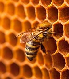 벌과 자연이 빚어낸<br>달콤한 황금빛 벌꿀