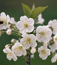 봄을 알리는 체리꽃이<br>앙증맞게 피었습니다