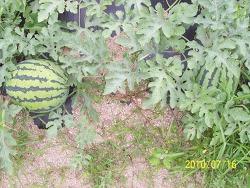 2010년 7월 16일 토마토 수확하다..