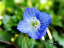 봄이 왔는가? 이런 개불알 꽃아