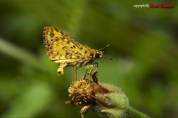 [외국곤충] 황알락팔랑나비를 닮은 팔랑나비류