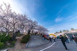 아옹다옹 아름다운 벚꽃이 즐비한 경남 사천 선진리성