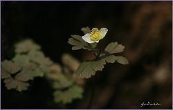 야생화 .. 만주 바람꽃