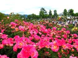 탐스러운 장미꽃 속으로! 나카노 장미 축제