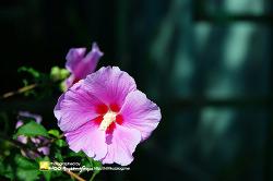 무궁화꽃 - 무궁화 사진