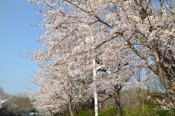 인천대공원 벚꽃