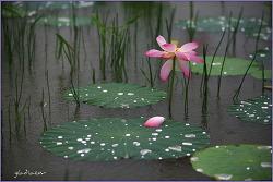 雨中의 예쁜 연(蓮)들..
