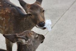 미야지마에서 만난 식탐사슴,뭘 그리 먹나 보니...