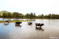 [몽골] 이동하는 소의 무리들