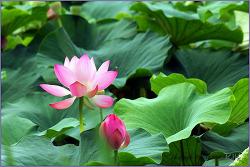전주 덕진 연못의 연꽃