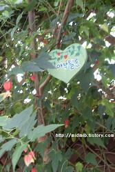 [꽃]아부틸론 - 허브