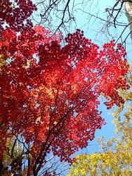 강원도 설악산 빨간 단풍나무 2013