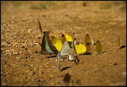 청띠제비나비와 노랑나비 흰나비 - 시그마 DP3m