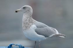 기사문항에 나타난 수리갈매기 X 큰재갈매기[Glaucous-winged X Slaty-backed Gull] Hybrid?