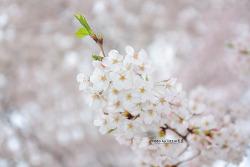 어린이대공원에서 담아본 벚꽃... [13.04.20]