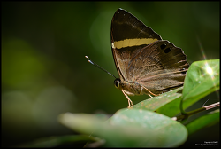 Dark Judy butterfly