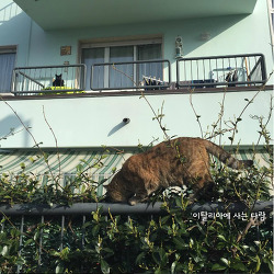이탈리아 고양이 / 숨은 고양이 찾기!