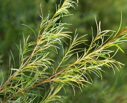 """아로마오일 필수템 삼총사 ③-티트리(Tea tree), """"여드름·뾰루지 사냥꾼"""""""