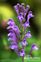 [한국의 꽃-35] 골무꽃