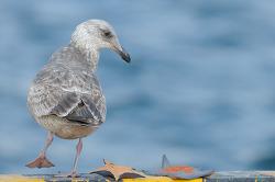 후포항의 큰재갈매기 1회 겨울깃 [Slaty-backed Gull 1st-winter] 다섯마리