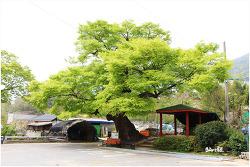 김해 우계리 느티나무