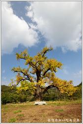 충남 부여 주암리 은행나무 (내산면은행나무)