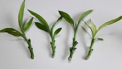 공기정화식물 '개운죽' 잎으로 번식시키기