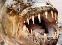악어도 잡아먹는다는 콩고 강 50kg 자이언트 피라냐 타이거피시
