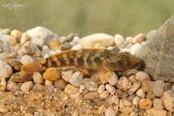 밀어 [Common freshwater goby]