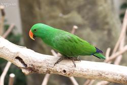 Eclectus parrot [뉴기니아앵무]
