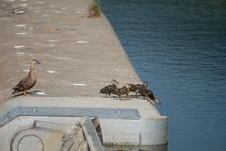 #152 새끼 오리들의 다이빙 연습
