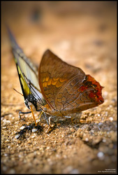 Sigma Dp3m macro photo - Rajah & Nawab butterfly