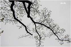 천곡리 이팝나무