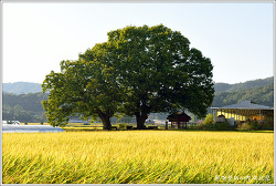 [충남]청양 목면 본의리 느티나무