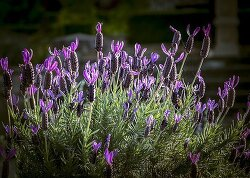 """아로마오일 필수템 삼총사 ①-모를 땐 """"라벤더(Lavender True)"""""""