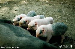 아기 돼지 꿀꿀..