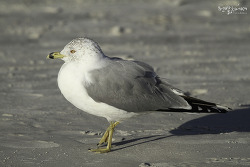 Ring-billed Gull(북미갈매기)