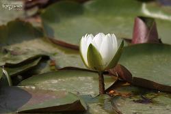 수련 [Water lily]