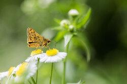 황알락팔랑나비