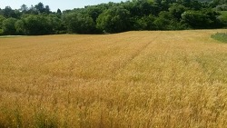 우리밀 밀밭