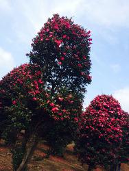 [사진] 동백나무
